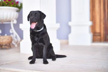 Beautiful black labrador dog sitting at terrace