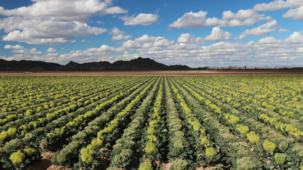 Keuken foto achterwand Cultuur Field of Broccoli Grown for Seed, in Yuma Area Arizona; fruit of broccoli is called a silique; each plant typically produces quarter pound of seeds