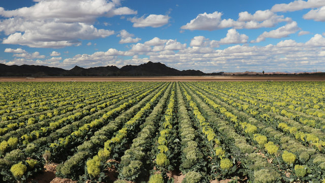 Field of Broccoli Grown for Seed, in Yuma Area Arizona; fruit of broccoli is called a silique; each plant typically produces quarter pound of seeds
