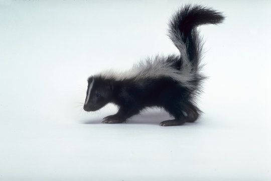 Baby skunk with tail up