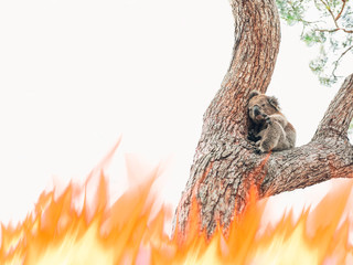 Deurstickers Koala A wild koala trapped is in danger for the bushfires' flames of Australia