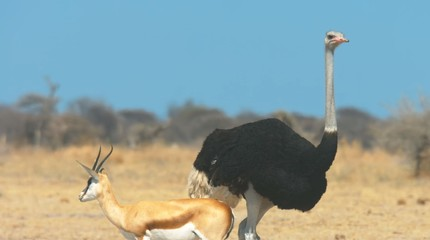Here in the photo we see a large ostrich in hot Africa and near an antelope.