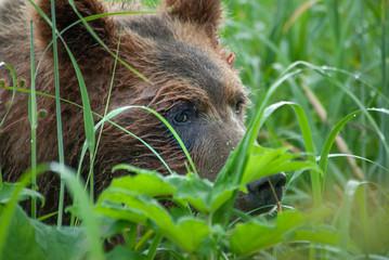 Brown Bear Peekaboo