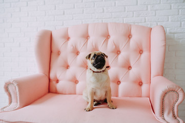 Pug dog sitting on a pink sofa. Animal. Posing