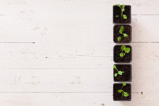 Top view of the black pots with young sprouts on a white wooden background with free space for text. The concept of organically grown garden products. Microgreens, a growing concept.