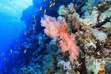 Wall Mural - Beautiful soft corals on Elphinstone reef