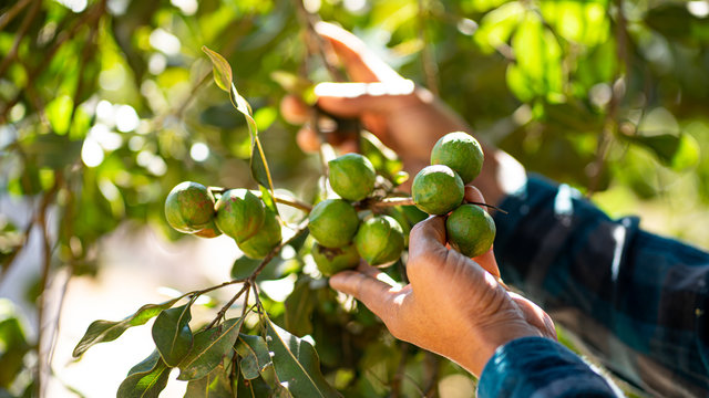 Hand picking macadamia tree and its fruit In the garden.