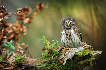 Foto auf AluDibond Eulen cartoon Owl in beautiful forest. Pygmy bird owl in snowfall. Small owl in natural habitat with mouse in winter. Glaucidium passerinum