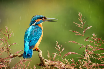 Kingfisher bird with fish detail, Alcedo atthis Fotomurales