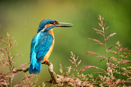 Kingfisher bird with fish detail, Alcedo atthis