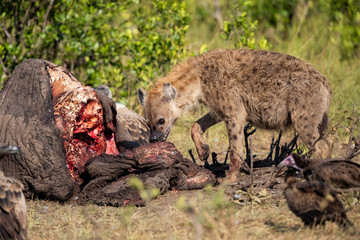 hyena and vultures near the carcass of an old male elephant in the Masai Mara Game Reserve in Kenya