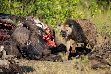 Fotobehang Hyena hyena and vultures near the carcass of an old male elephant in the Masai Mara Game Reserve in Kenya