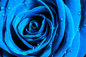 La pose en embrasure Macro photographie Creative macro photo of a rose flower with drops of water close-up in the 2020 color trend in dark blue colors.