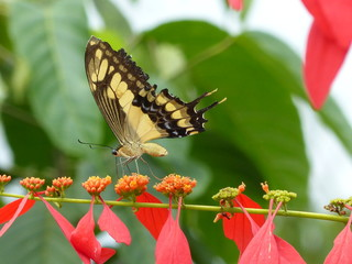 Papilionidae butterfly on a red flower in the Amazon rainforest, Brazil.
