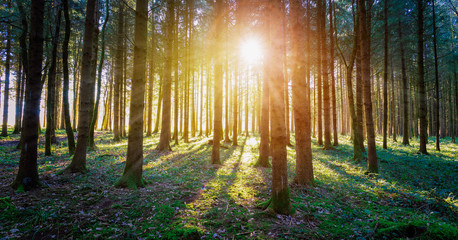 Wall Murals Gray traffic Impressive sunset in the forest: Tree trunks, sunbeams, light and shadow