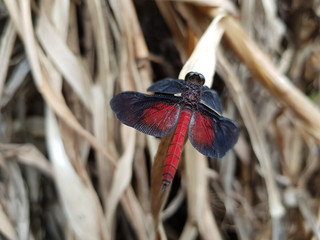 Black-and-red Dragonfly (Diastatops intense) Libellulidae family. Amazon rainforest, Brazil