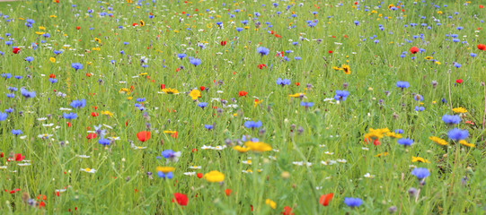 Fototapeta wildflower meadow