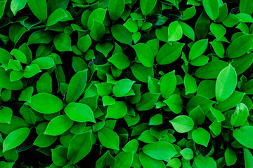 closeup nature view of green leaf in garden, dark wallpaper concept, nature background, tropical leaf