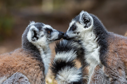 Two ring tailed lemurs face to face (Lemur catta), Isalo National Park, Madagascar