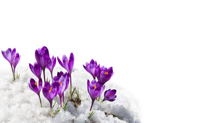 Poster Krokussen Spring snowdrops flowers violet crocuses ( Crocus heuffelianus ) in snow on a white background with space for text
