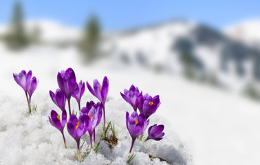 Photo sur cadre textile Crocus Spring landscape of blooming flowers violet crocuses ( Crocus heuffelianus ) on glade in mountains covered of snow. Carpathian mountains