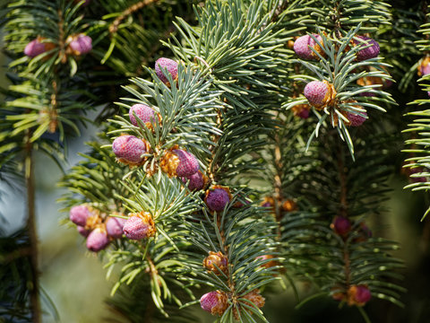 Just born small cones on the branches of a coniferous tree.