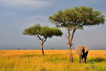 An elephant cools off under a sage tree on the savannah