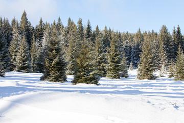 Fototapeta zielone choinki w śniegu obraz