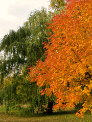 Tall trees in autumn with orange and green leaves