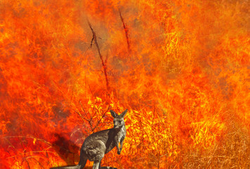Foto op Plexiglas Kangoeroe Composition about Australian wildlife in bushfires of Australia in 2020. Kangaroo with fire on background. January 2020 fire affecting Australia is considered the most devastating and deadly ever seen