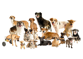 cães, vira-latas, animal, cadeirante, estúdio, lindos