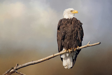 Original textured photograph of a majestic bald eagle sitting on the branch of a tree