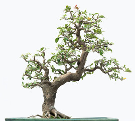 Foto op Plexiglas Bonsai Bonsai pine tree. Isolated on white background