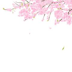 桜のイラスト。桜とは、日本の春に咲く代表的な花。