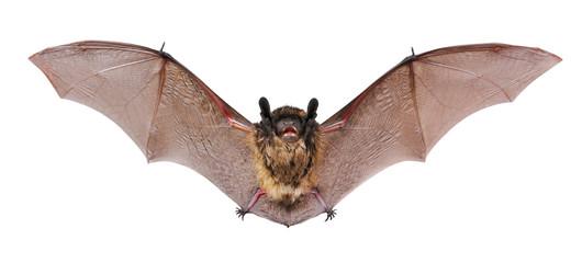 Animal little brown bat flying. Isolated on white. Fototapete