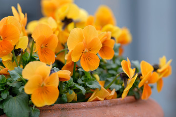 Springtime flowers: A flower pot made of clay with beautiful orange pansies blooming in a garden in Bavaria, Germany, in March