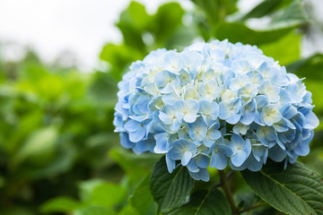Fond de hotte en verre imprimé Hortensia Beautiful hydrangea flowers in the field