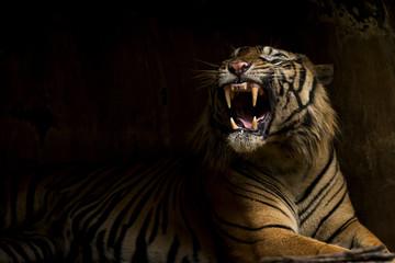 Photo sur Plexiglas Tigre boca del tigre bostezo rugido