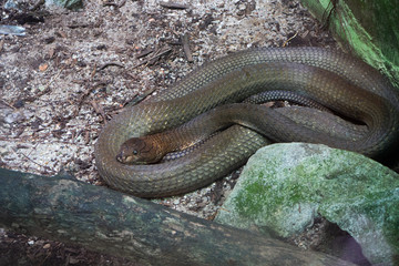 Picture of a large king cobra lying still waiting for prey