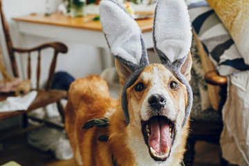 Cute golden dog in grey bunny ears playing with owner, trying to eat stylish easter egg in room. Lifestyle photo. Adorable dog in rabbit ears smiling. Happy Easter