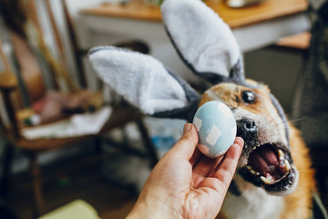 Cute golden dog in grey bunny ears playing with owner, trying to eat stylish easter egg in room. Lifestyle photo. Adorable dog sniffing easter egg, showing tongue. Happy Easter