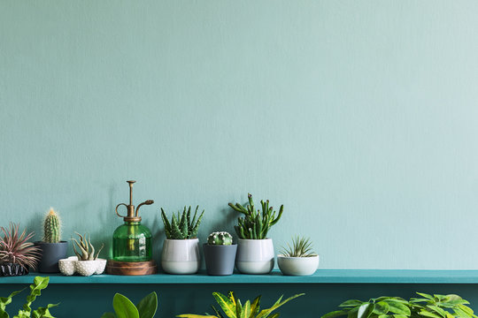 Stylish living room interior with compositon of beautiful cacti and succulents in differents design pots on the green shelf. Green wall. Modern and floral concept of home garden jungle. Template.