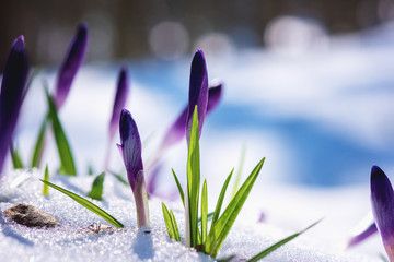 Poster Krokussen First spring flowers - purple crocus or saffron in snow, amazing strong and power nature. Natural outdoor background, early spring in Europe
