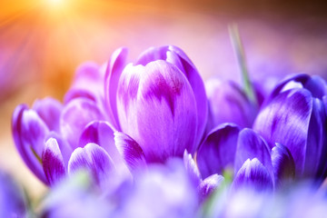 Beautiful purple crocus or saffron flowers in sunlight, macro image. Natural spring floral background suitable for wallpaper or greeting card