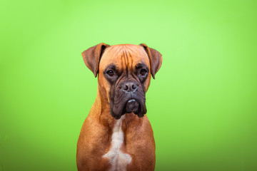 Portrait of cute boxer dog on colorful backgrounds, green, copy space