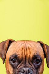 Portrait of cute boxer dog on colorful backgrounds, orange, copy space