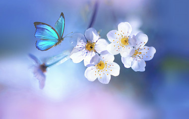 Wall Mural - Beautiful blue butterfly in flight over branch of flowering apple tree in spring at Sunrise on light blue and pink background macro. Amazing elegant artistic image nature in spring.