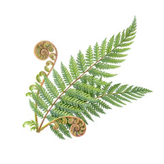 Silver Fern Hand Drawn Pencil Illustration Isolated on White