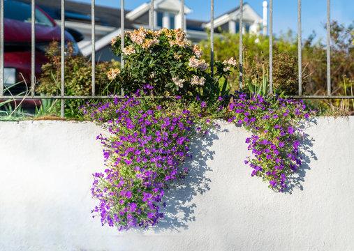 Lobelia flower blooming on a white wall