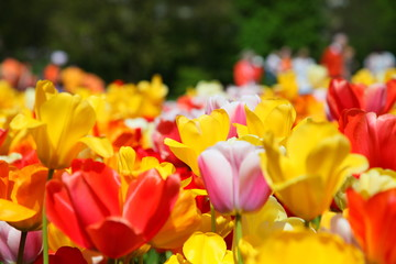 Fotobehang Tulp Tulips Vondelpark Amsterdam
